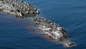 Hati-hati Berenang di Florida, 'Crocodile First'